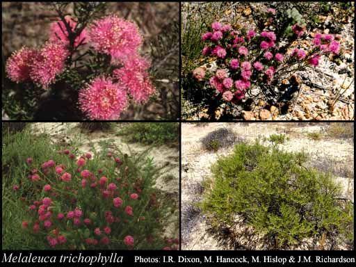Melaleuca trichophylla  Small shrub, spring flowers
