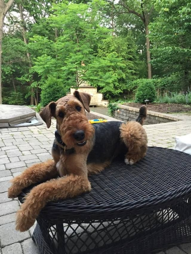 Airedale Terriers Photo Airedale Dogs Airedale Terrier Puppies Pitbull Terrier