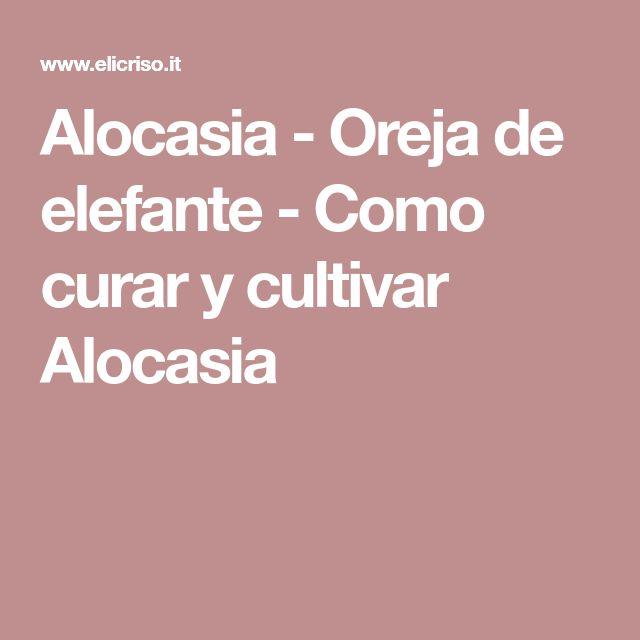 Alocasia - Oreja de elefante - Como curar y cultivar Alocasia