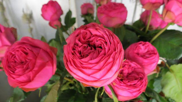 pink piano cabbage rose david austin