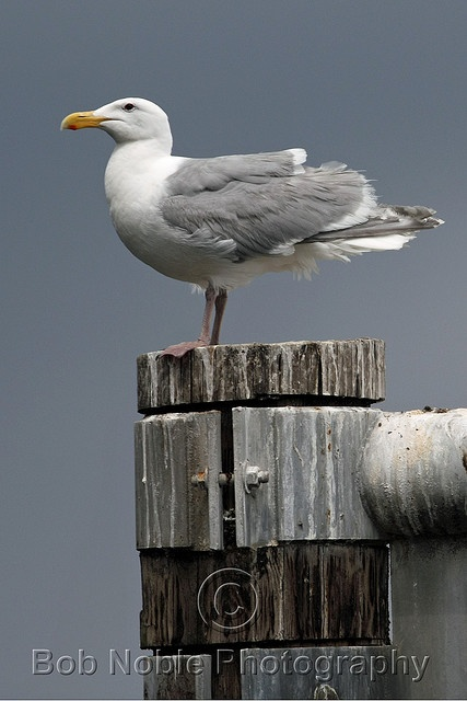 Gull, of one species or another.  Could also be a hybrid.