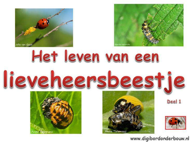 Powerpoint over het leven van lieveheersbeestjes. DEEL 1. Deze powerpoint bestaat uit twee delen die bij elkaar horen.  http://www.digibordonderbouw.nl/index.php/themas/dieren/lieveheersbeestjes/viewcategory/193