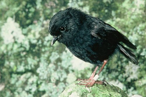 """Black Robins - In 1980 there were only five of these birds left, with only one fertile female. That's this little lady , Old Blue. Anyway, so this guy named Don Merton stepped in when everyone else threw in the towel, and he was like, """"Well let's try something."""" And they tried something, and it worked. Now there's a population of a couple of hundred of them, and since they live exclusively on these tiny islands off New Zealand, that's a fairly decent population."""
