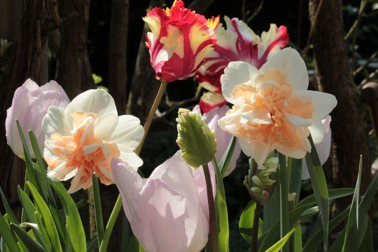 Tulips and dafodils