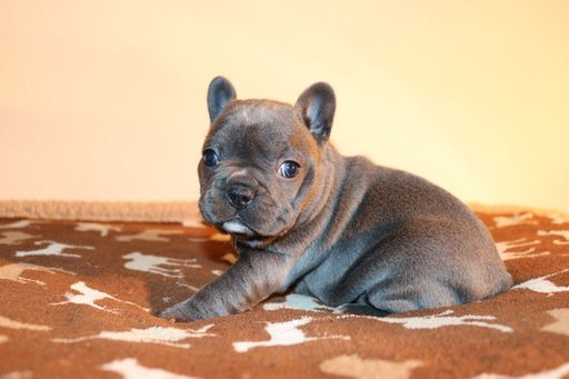 Litter of 2 French Bulldog puppies for sale in HOUSTON, TX. ADN-20486 on PuppyFinder.com Gender: Female. Age: 6 Weeks Old