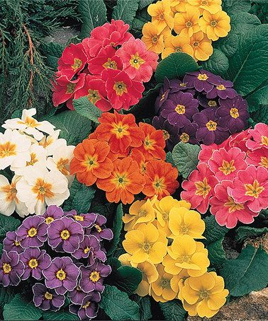 Another great find on #zulily! Mixed Hardy English Primrose Plant - Set of Three #zulilyfinds