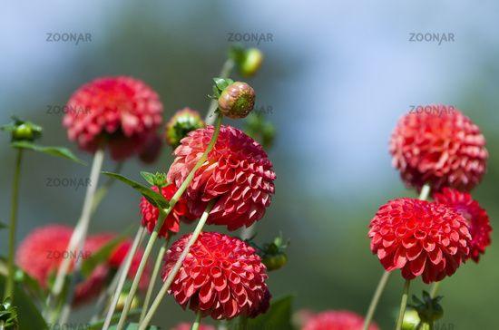 """Die rote Pompon-Dahlie """"Amanda"""" ist ein wundervoller Pompon-förmiger Farbtupfer für Ihr Blumenbeet!"""
