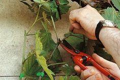 Vigne : comment obtenir un raisin bien sucré