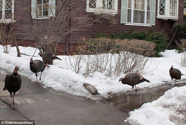 Turkeys are scary! The wild turkey population is rapidly growing in the small town of Brookline, Massachusetts