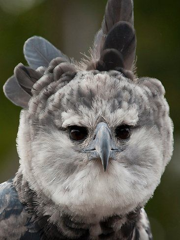 94 mejores imágenes de Águila arpía en pinterest  harpia