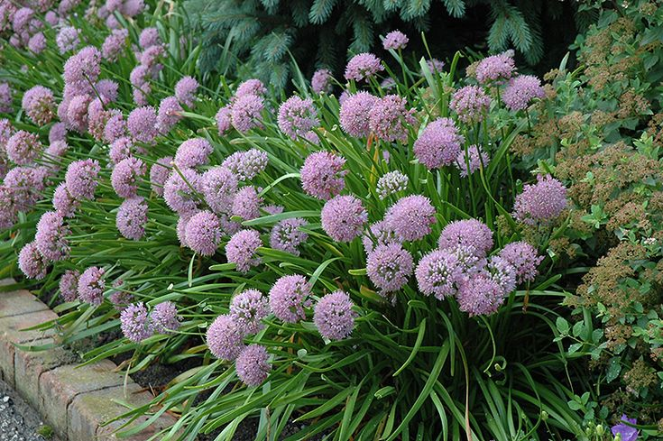 Click to view full-size photo of Corkscrew Onion (Allium senescens) at Landsburg Landscape Nursery