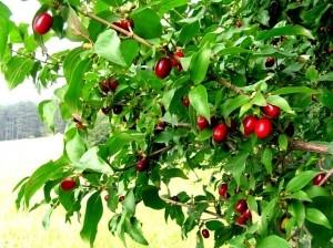 Cornus mas - Kornelkirsche (Dirndl) - Cornelian cherry (Dogwood)