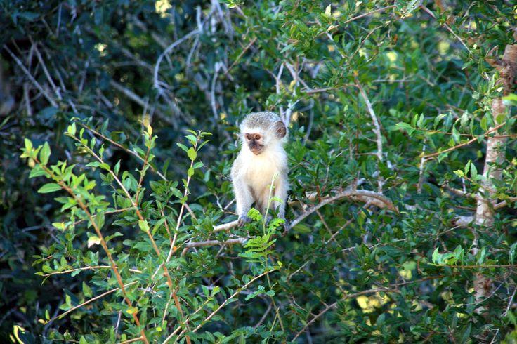 Baby vervet monkey. #EpicEnabled
