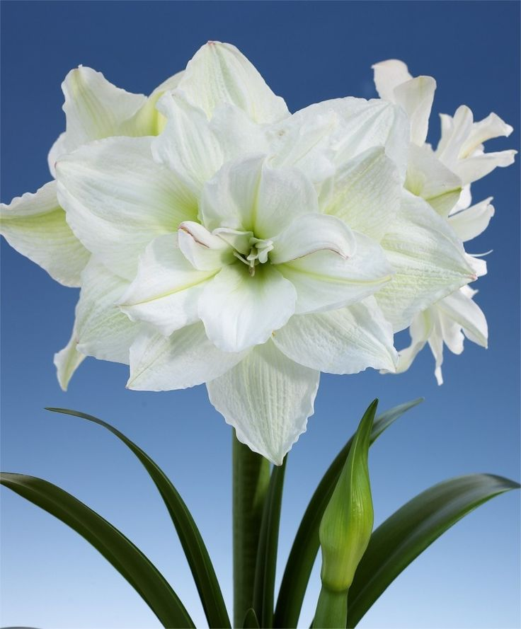 Amaryllis white nymph royal dutch hybrid double for Amaryllis royal