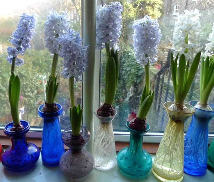 70 Best Bulbs In Water Culture Images On Pinterest