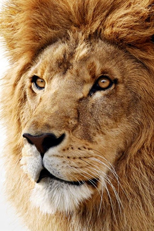 Osx lion wallpaper 4k for mobile android iphone iphone - Lion 4k wallpaper for mobile ...