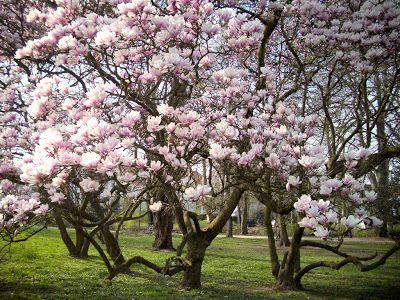 Düsselblume: Magnolienblüte