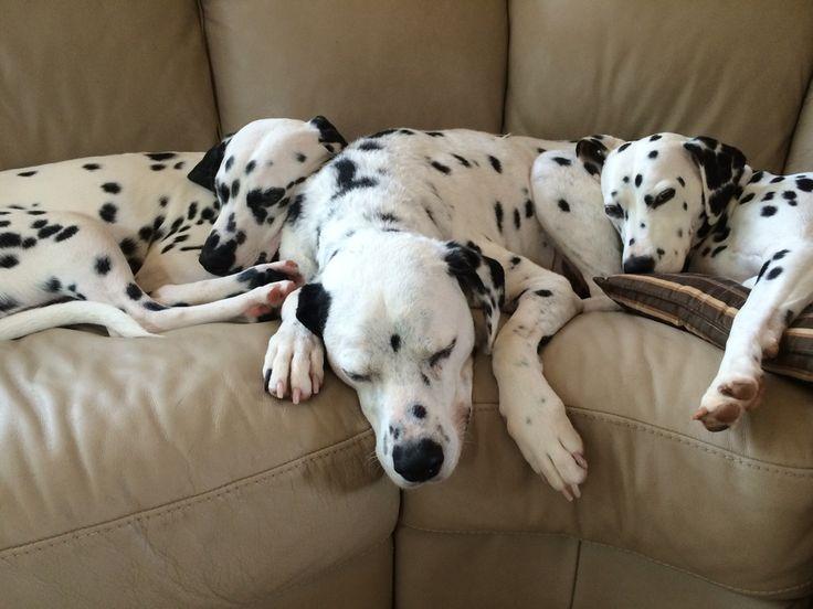 Dalmatian Puppies For Sale In Githunguri Kenya