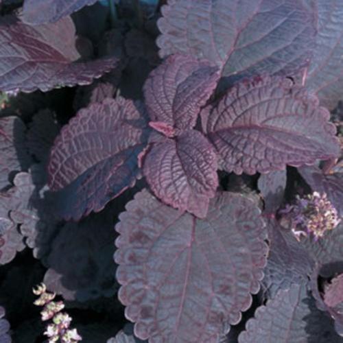 ColorBlaze® Dark Star  Coleus  Solenostemon scutellarioides.  Coleus is one of my favs.