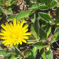 Hieracium pilosella: Mouse-eared Hawkweed