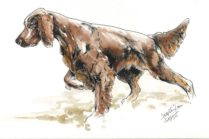 Irish Setter.posted by T.Sutton