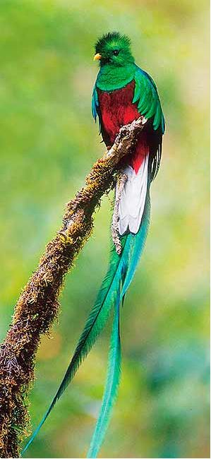 Quetzal bird of Central America - Indians used to use their long