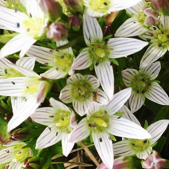 センブリ(千振 Swertia japonica )はリンドウ科センブリ属の二年草。たべすぎにきく薬草。生薬名は当薬(とうやく)。