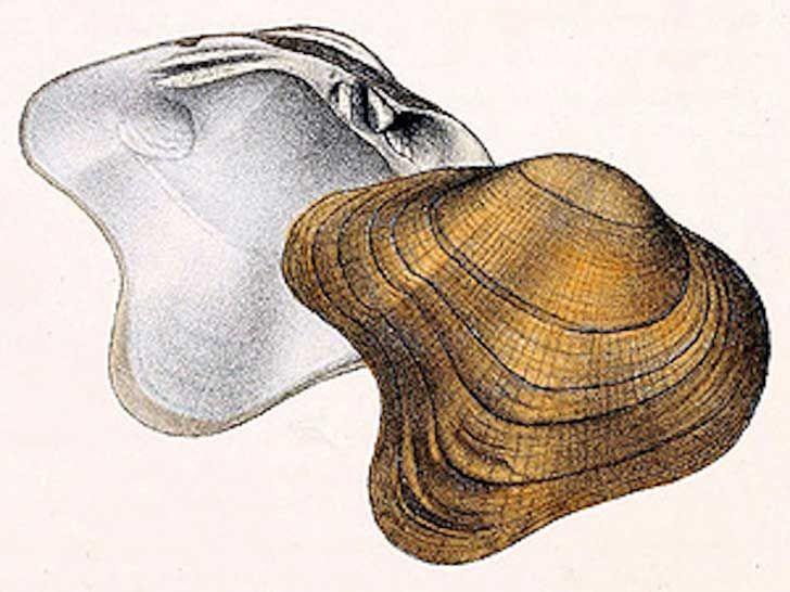 Extitnta en 1940. Ostra perlífera en forma de arco. Epioblasma arcaeformis.