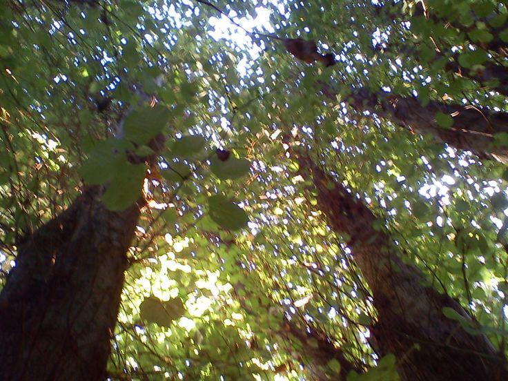 Gravhøj mellem 6 lindetræer 2013