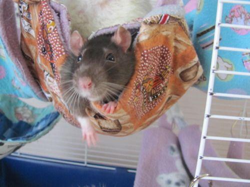 i need a rattieeeeeeeeeeeeeee