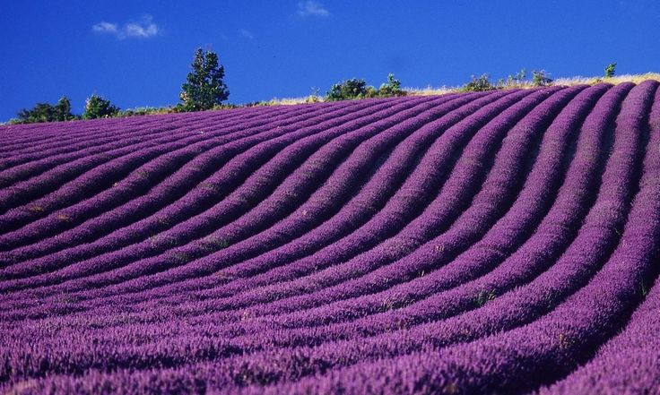 Lavender fields. To see and to fall in love - http://archidom.info/?p=9002