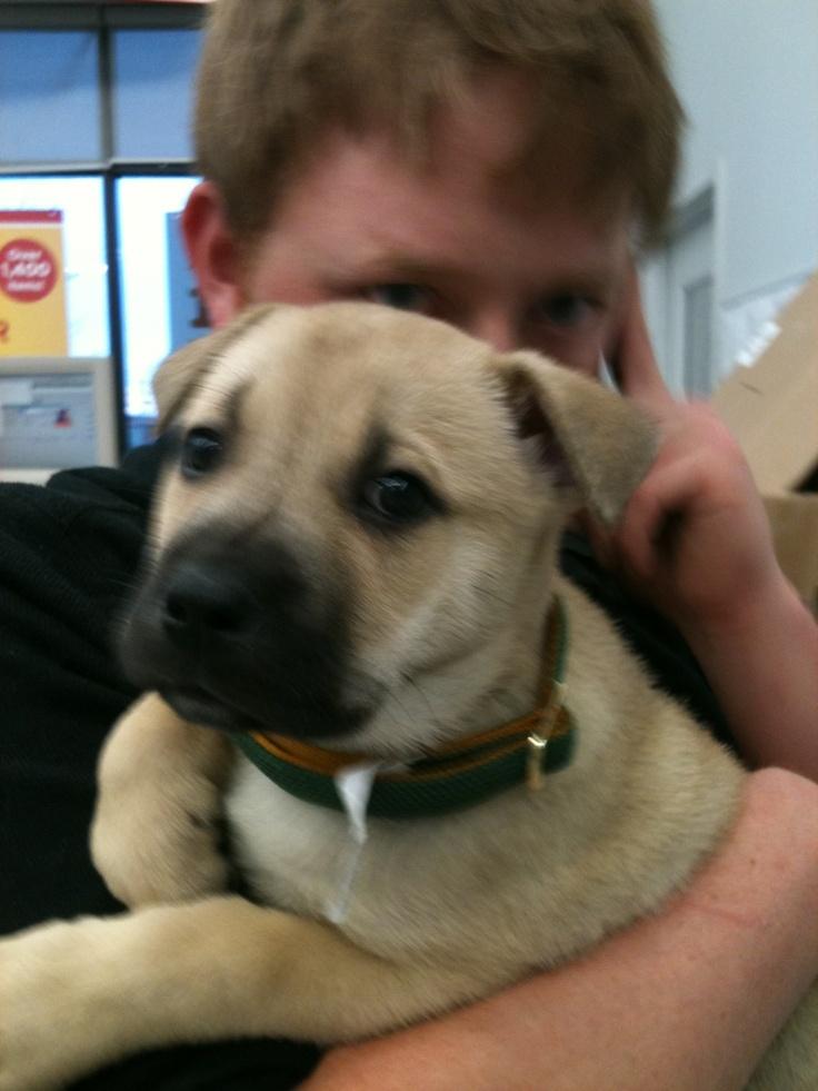 ST LOUIS, MO Beagle/Boxer Mix. Meet Margie a Dog for