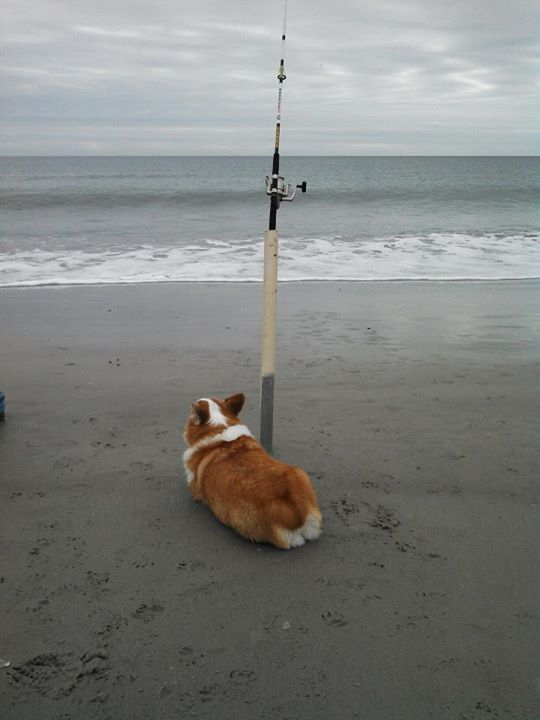Gotta love a fishing companion dogs pinterest for Long island surf fishing report