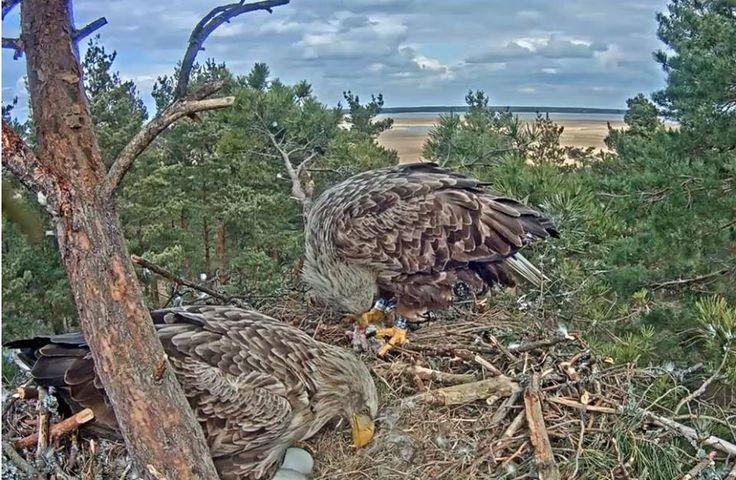 Orli mořští staví hnízdo. Eagles building nest