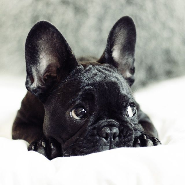 Fleur De Vanille kennel http://www.frenchbulldogbreed.net