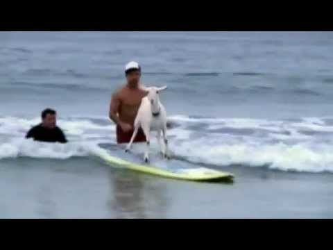 SURFING GOAT 'Goatee' takes to the waves