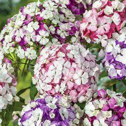 Perennial Seeds - Dianthus barbatus 'Kaleidoscope Mixed'