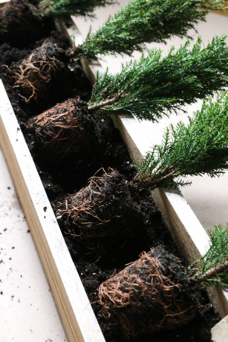 tiny trees in window boxes to last the winter | gardenista Tiny Eurocypress trees.