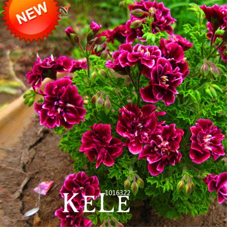 Sale! 20 PCS/Pack Crimson Kelopak Bunga Geranium, Biji Bunga abadi Peltatum Pelargonium Bunga, # WM9T73