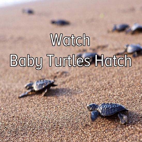 Bucket list: go to a beach and watch baby turtles hatch. Omg no one has any idea how bad I would do this.!!!! And protect them from anything
