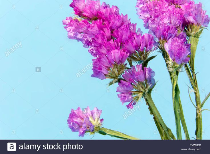 plant, flower, bloom, blossom, flora, dry flowers, pink, blue, cyan background Stock Photo