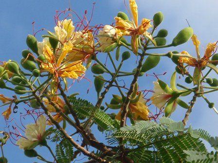 Delonix hojas de Elata