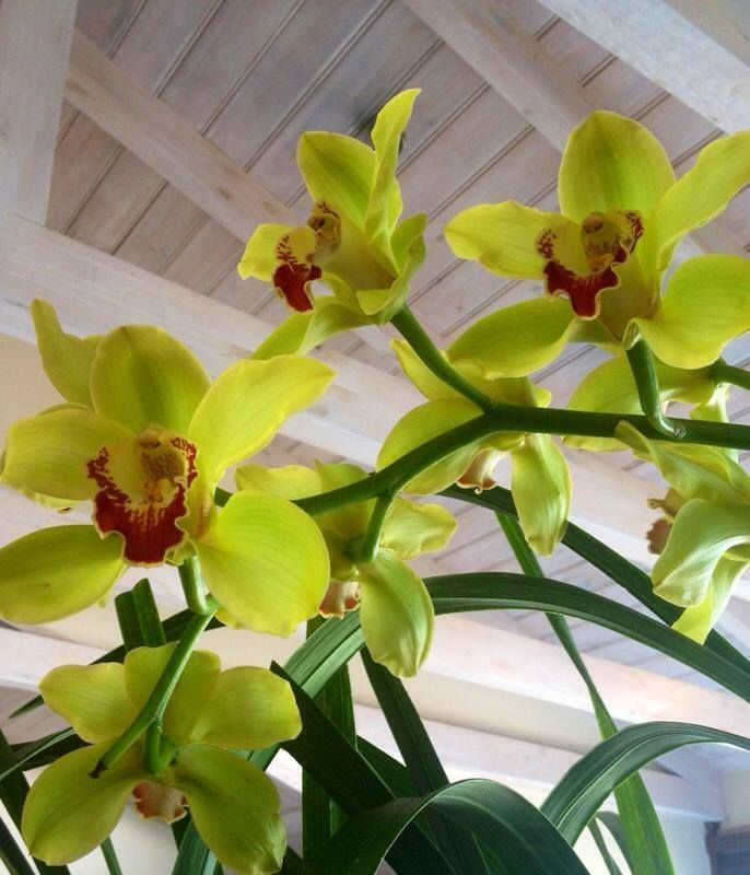 Our orchids are blooming, a sure sign that the seasons are changing! #orchids