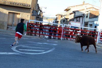 Santacara: Vacas de Vicente Domínguez - Fiestas de Santa Eufe...