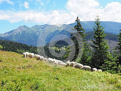 Flock of sheep in mountains :Tatry, Slovakia