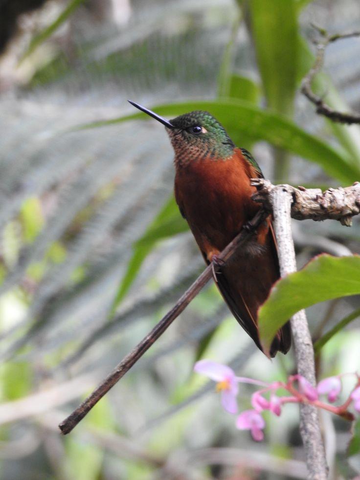 Humming Bird at Mauchu Picchu