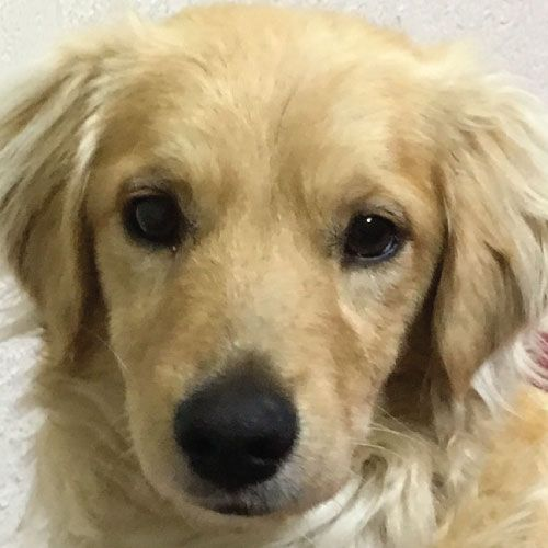 Randy has been adopted! This is Randy a 1 yr old Golden Retriever/Cocker Spaniel mix. He is neutered, current on vacciantions, potty trained, good with dogs, cats and kids. He is a playful, happy boy. GRR of El Paso, TX.