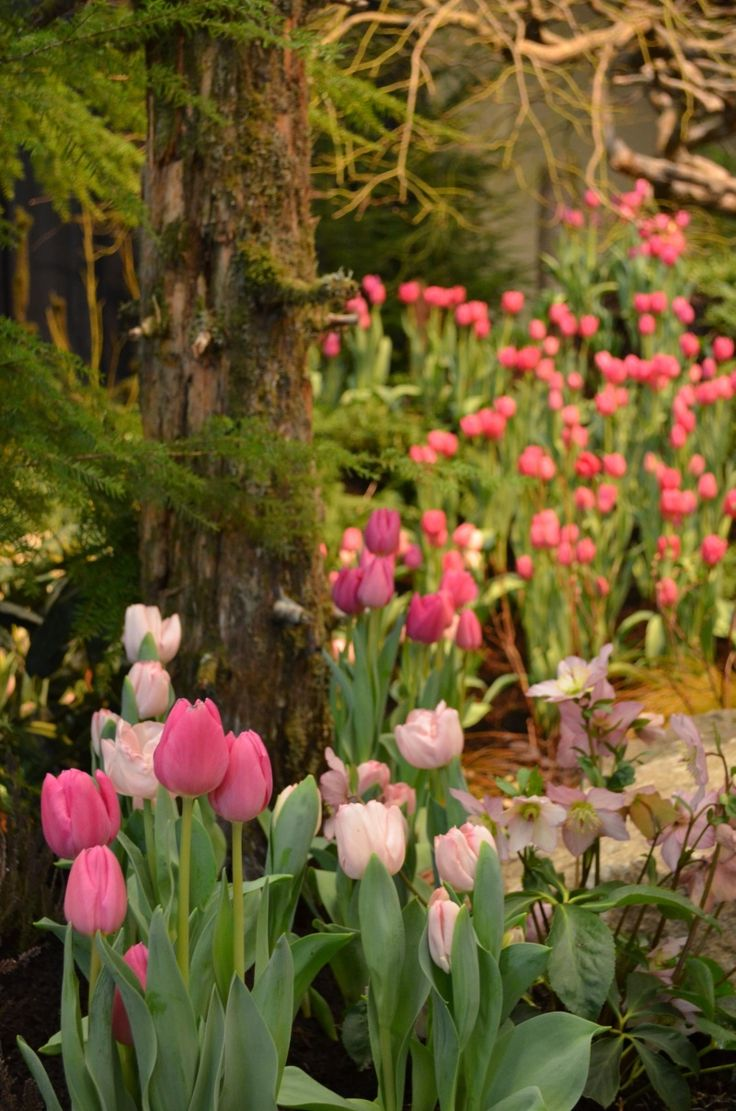 ♡ Spring Tulips - plant in mass