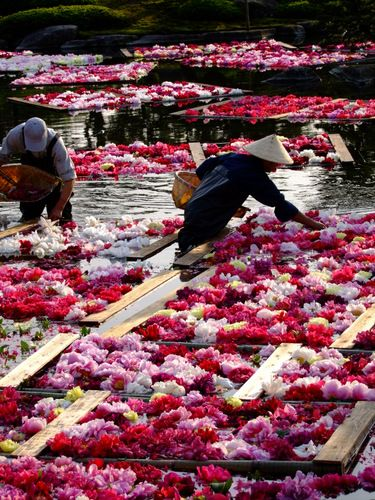 Flower rafts in a Japanese garden, Matsue, Shimane, Japan 大根島