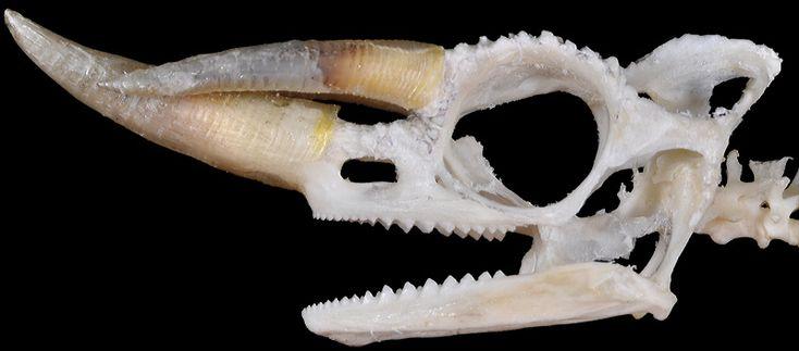 Jackson Chameleon skull Plain